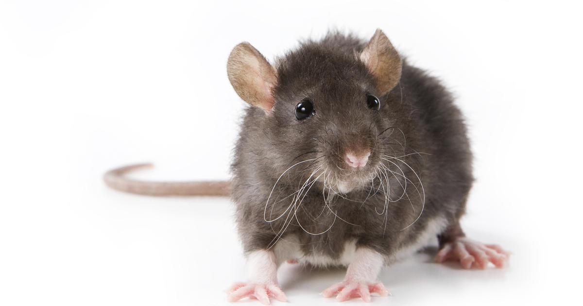 Science : quand un homme dirige un rat en implantant une électrode dans son cerveau